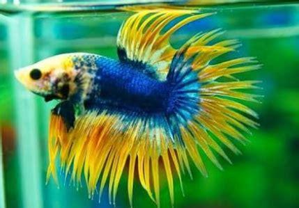 Bibit Ikan Cupang Koi inilah cara mudah ternak ikan cupang untuk pemula yang