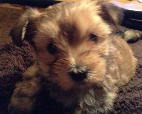 yorkie maltese mix puppies for sale in maryland maltese yorkie mix morkie dogs breeds picture