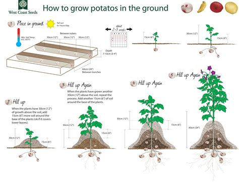How to Grow Potatoes ? West Coast Seeds