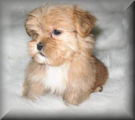 puppies for sale in louisiana 28 best images about shorkie on
