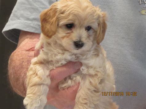 yorkie poo size malti poo born 10 29 15 size expected to be 7 9 lbs with his new