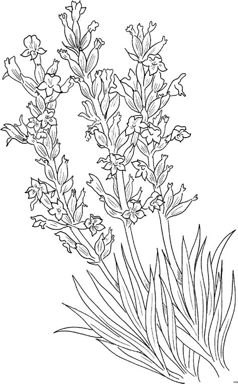 lavender flower coloring page free lavender flowers coloring pages