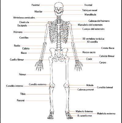 imagenes asombrosas del cuerpo humano imagenes de huesos del cuerpo humano vista frontal