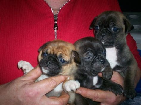 pug chihuahua mix for sale chihuahua pug mix puppies d by lordtalpadevil666 on deviantart