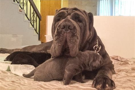 neapolitan mastiff puppies for sale california view ad neapolitan mastiff puppy for sale california los angeles usa