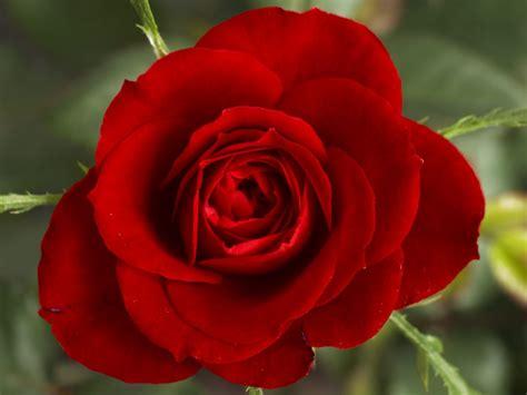 imagenes rosas hd rosa roja hd im 225 genes y fotos