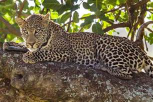 Characteristics Of Jaguar Cheetah Vs Leopard Difference And Comparison Diffen