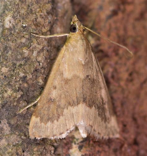 Garden Webworm by Maryland Biodiversity Project Garden Webworm Moth