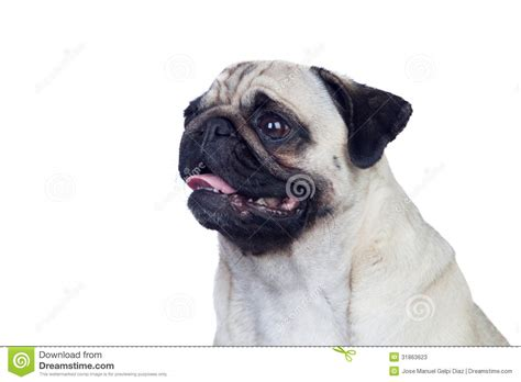 hair pug pug with white hair stock photos image 31863623
