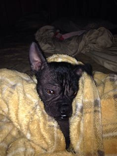 hairless pug hairless pug puppy just adorable animals pug puppys and pug