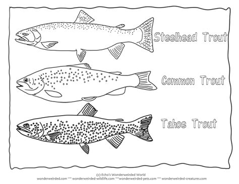 coloring pages rainbow trout trout coloring page collectionfrom our wonderweirded fish