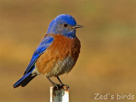 western bluebird art pinterest