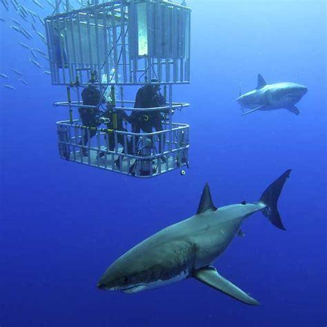 great white shark dive great white shark diving holidays dive worldwide