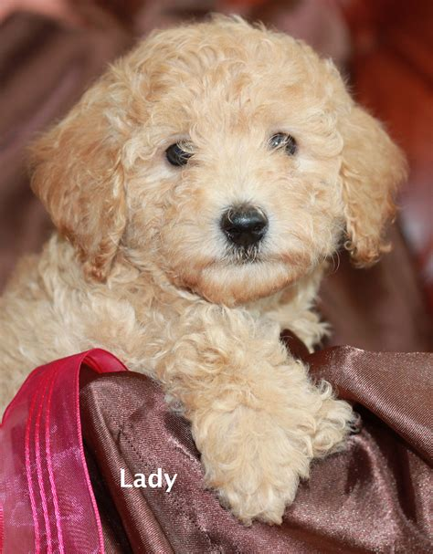 mini doodle rescue mini goldendoodle puppies for adoption san diego
