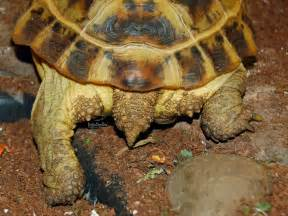 russian tortoises tortaddiction a helpful guide to determining the sex of