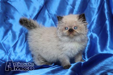 cuccioli di gatti persiani vendita cucciolo himalayano da privato a udine gatti