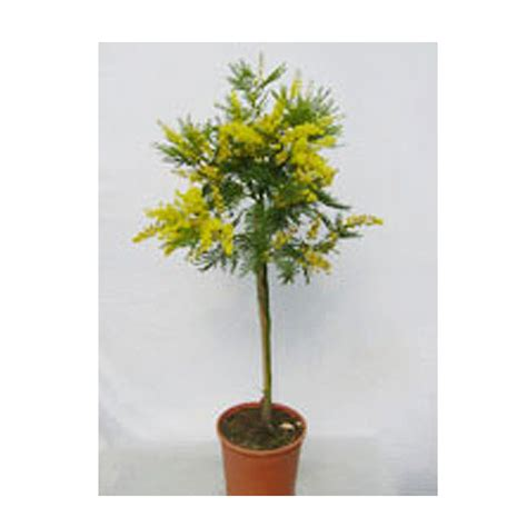 mimosa vaso mimosa vaso 20 floricoltura magnani di magnani gianpaolo