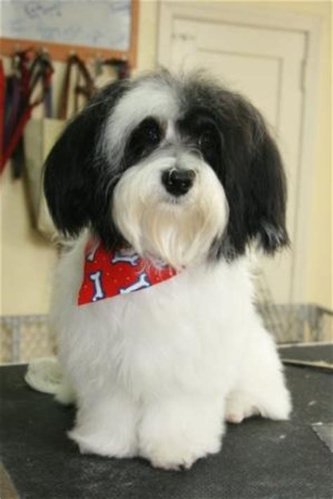 havanese grooming styles pictures pics for gt havanese grooming styles