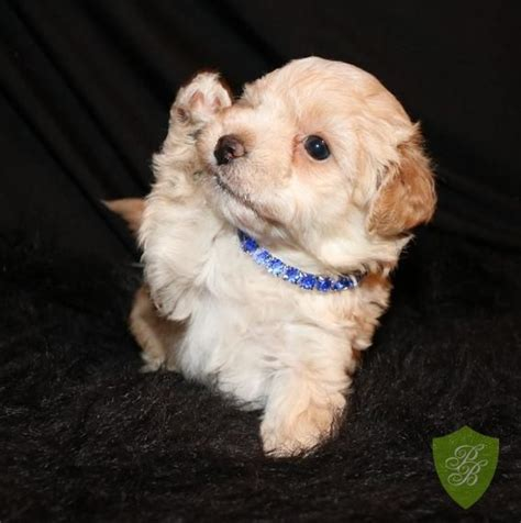 maltipoo puppies for sale in sc 1000 ideas about maltipoo breeders on dogs for adoption maltipoo puppies