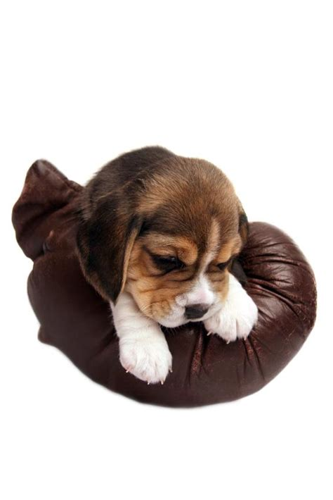 beagle puppies for sale houston teacup pocket beagle puppies breeds picture