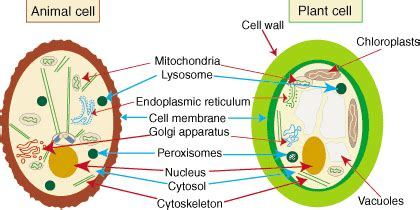 animal cell vs plant cell venn diagram animal cells vs plant cells venn diagram thinglink
