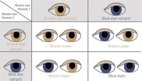 punnett square for eye color what are polygenic scores and why are they so important