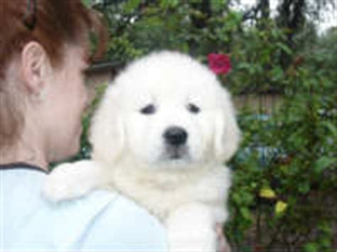 white golden retriever california golden retriever alpine white golden retrievers california