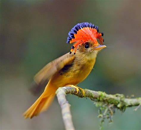 birds of the world amazonian royal flycatcher