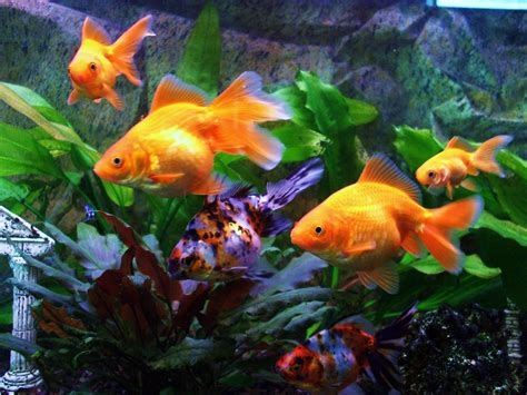 goldfish wallpaper gold fish wallpapers wallpaper cave