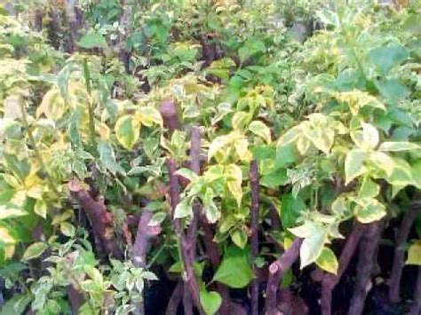 Bibit Tanaman Bougenville bibit bunga bougenville hub 08121605732