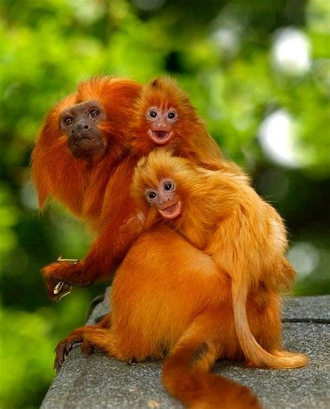 show me a picture of a baby golden retriever golden tamarins monkeys dads and look at