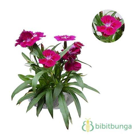tanaman purple baby doll bibitbunga