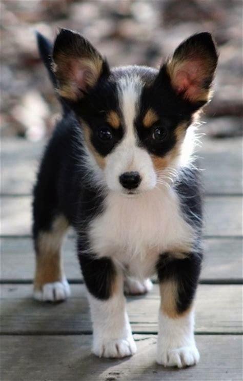 corgi aussie mix puppies aussie corgi breed information