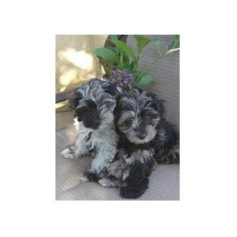 free puppies evansville indiana cockapoo breeders in indiana