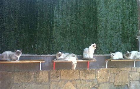 Gats Zu 0003 els quatre gats criadores de ragdolls quienes somos