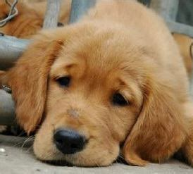 puppy cries all why do puppies cry the costa times