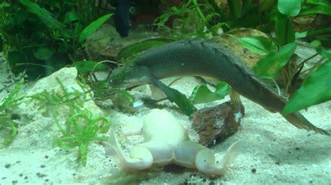 Feeding Frog clawed frog and bichir senegalus feeding