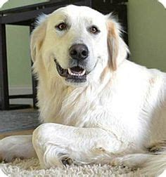 great pyrenees golden retriever mix for sale great pyrenees golden retriever mix rescue dogs in our photo