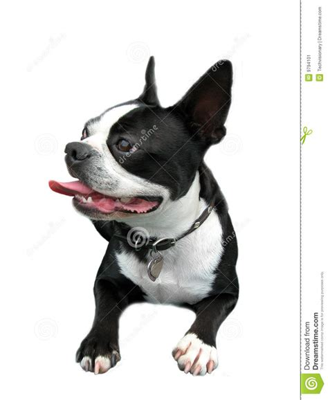 smiling boston terrier stock image image of isolated