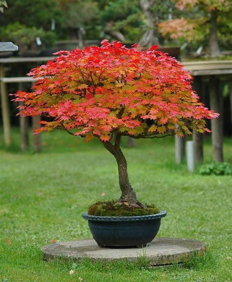 acer japonicum aconitifolium moon maple agm winner 10 seeds ebay