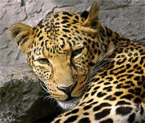 Jungkir Balik Jagat Jawa wakoranews macan tutul yang turun dari merapi