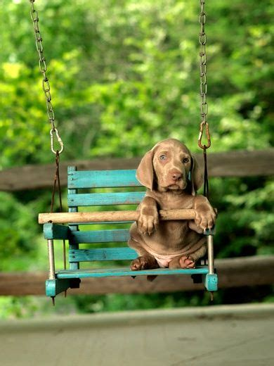 665 best weimaraner s images on