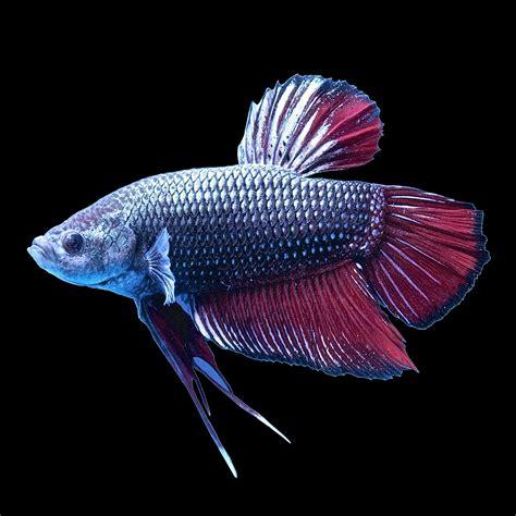 Betta Gold Size S halfmoon king betta fish petco