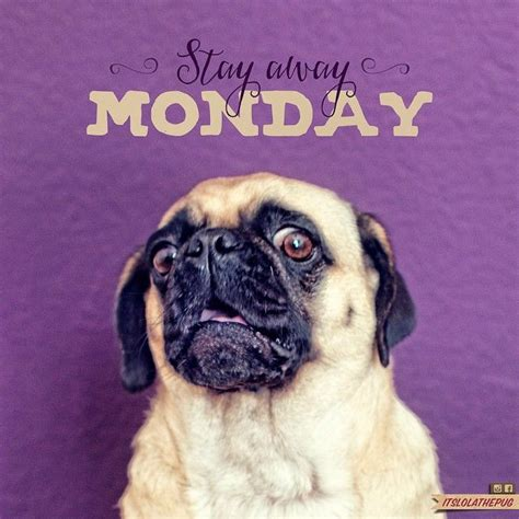 pug monday 17 best images about pugs on pugs pug and pug