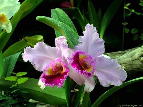 imagenes hermosas de orquideas orqu 205 deas galer 237 as de im 225 genes
