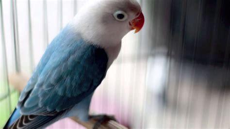 dunia hobi pertama kali di dunia lovebird biola park