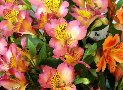 astro flower wallpaper alstroemeria flowers colorful leaves close