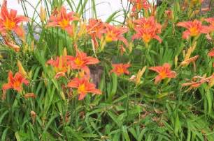 how to grow tiger lily flowers by the gardener s network