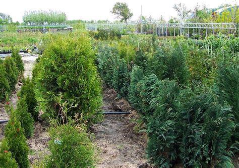 Garten Pflanzen Bilder by Thuja Und Chamecyparis In Der Baumschule