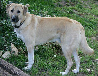 anatolian shepherd puppies anatolian shepherd breed pictures fimho